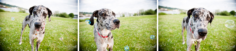 great dane dog and bubbles at gasworks park in seattle